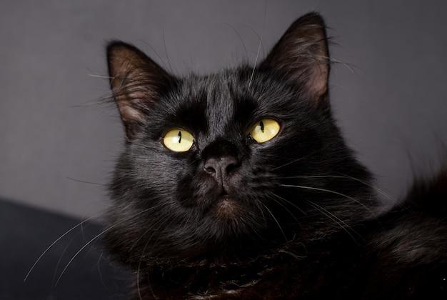 黄色い目を持つ美しいふわふわの黒い猫 Premium写真