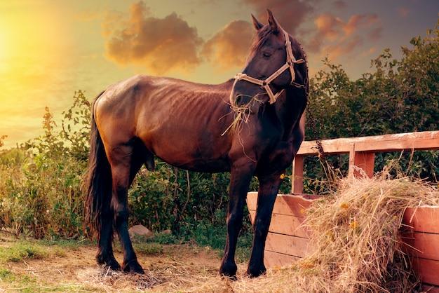 農場のヒッチポストの近くに餌をやる豪華な黒い馬の肖像画。 Premium写真