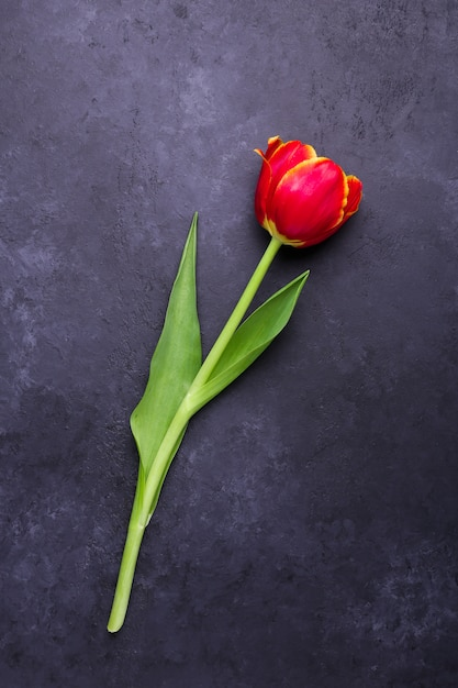 Свежий красочный цветок тюльпана на фоне темного камня Premium Фотографии