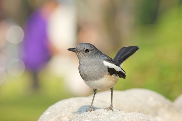 美しい黒と白の鳥、メスオリエンタルカササギロビン Premium写真