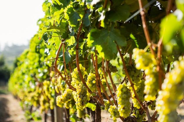 ブドウ園で成長しているブドウ Premium写真