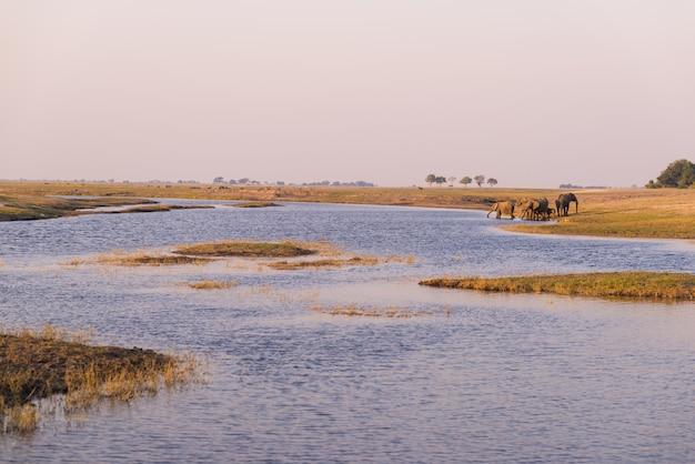 日没時のチョベ川から水を飲むアフリカゾウのグループ。アフリカ、ナミビアボツワナ国境のチョベ国立公園。 Premium写真