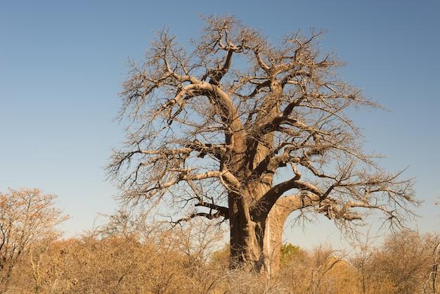 澄んだ青い空とアフリカのサバンナのバオバブ植物。ボツワナ Premium写真