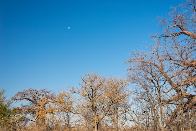澄んだ青い空とアフリカのサバンナのバオバブ植物と月。ボツワナ Premium写真
