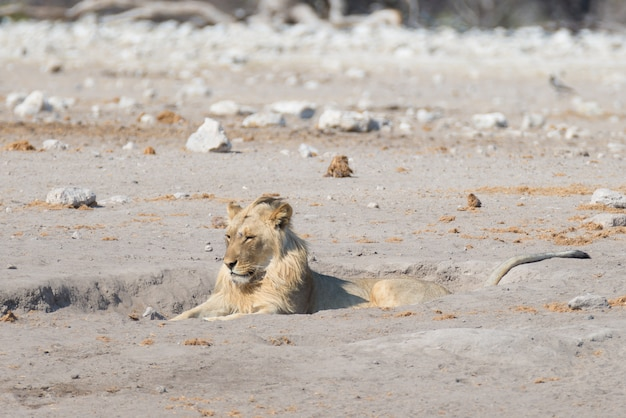 Лев лежит на земле. живая природа в национальном парке этоша, намибия, африка. Premium Фотографии