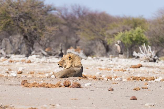 地面に横たわっているライオン。アフリカ、ナミビアのエトーシャ国立公園の野生生物。 Premium写真