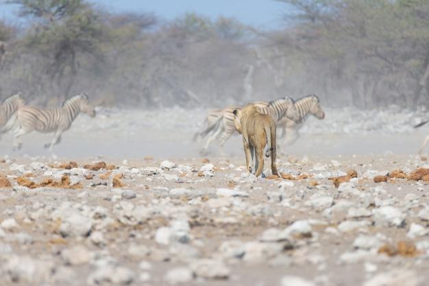 Лев и зебры убегают, расфокусированные на заднем плане Premium Фотографии