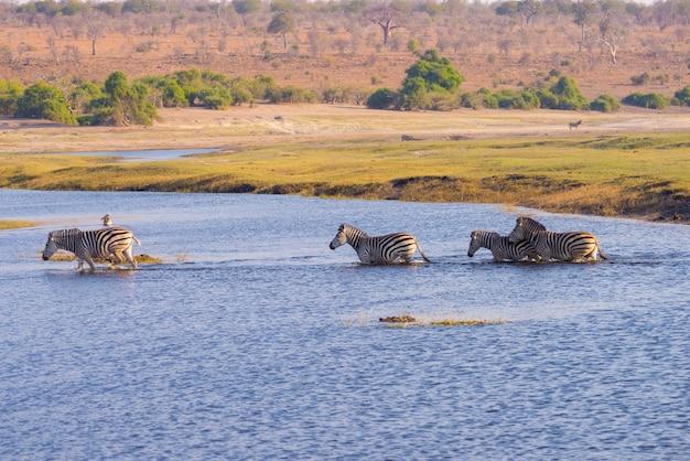 Зебры пересекают реку чобе. свет заката. Premium Фотографии