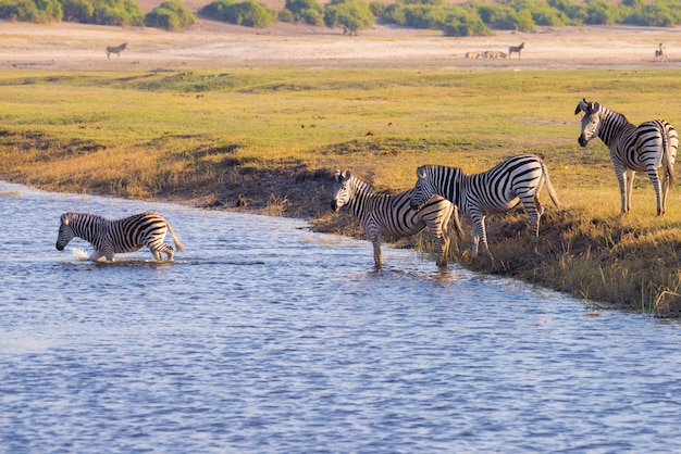 Зебры пересекают реку чобе. Premium Фотографии