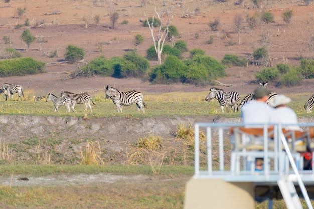 Турист наблюдает за стадом зебр, пасущихся в кустах. круиз на лодке и сафари по реке чобе, граница намибии, ботсваны, африка Premium Фотографии