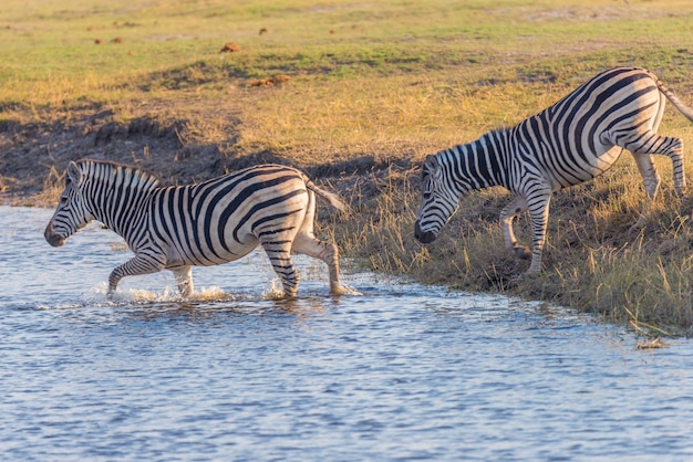 チョベ川を渡るシマウマ。輝く暖かい夕日の光。アフリカの国立公園と野生生物保護区の野生動物サファリ。 Premium写真