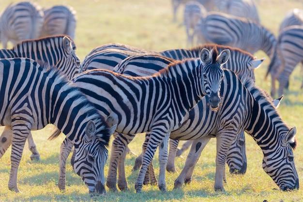 Стадо зебр, пасущихся в кустах. светящийся теплый закатный свет. дикая природа сафари в африканских национальных парках и заповедниках. Premium Фотографии