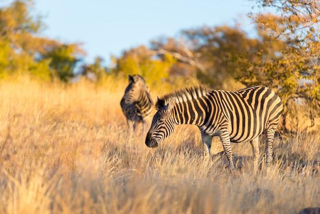 Стадо зебр в кустах Premium Фотографии