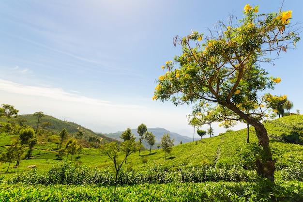 Чайная плантация зеленый пейзаж в шри-ланке Premium Фотографии