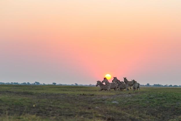Стадо зебр, ходить в кустах в подсветке на закате. сценарный красочный солнечный свет на горизонте. дикая природа сафари в африканских национальных парках и заповедниках. Premium Фотографии