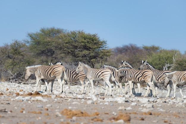 ナミビアの旅行先、エトーシャ国立公園のシマウマの群れ。ほこり、柔らかな光。 Premium写真