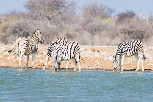 Стадо зебр пьют из водопоя в кустах. сафари дикой природы в национальном парке этоша, туристическое направление в намибии Premium Фотографии