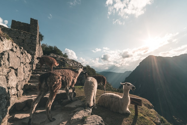 Ламы в мачу-пикчу, перу, лучшие туристические направления в южной америке. Premium Фотографии