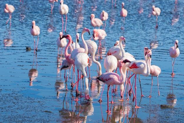 アフリカ、ナミビアの大西洋岸ウォルビスベイの海に浮かぶピンクのフラミンゴのグループ。 Premium写真