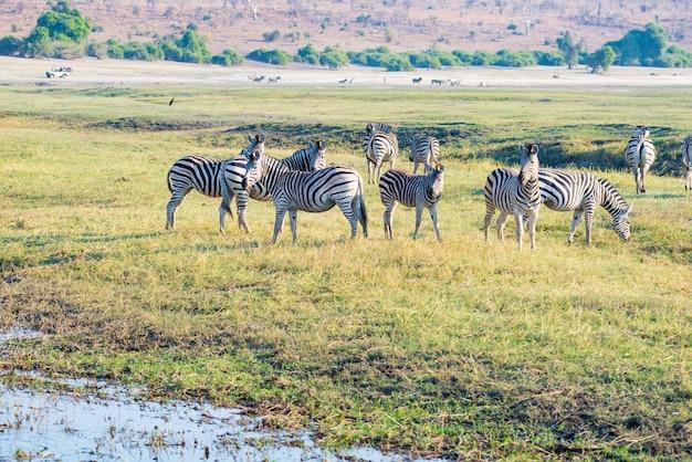 Зебры в национальном парке чобе, ботсвана. дикая природа сафари в африканских национальных парках и заповедниках. Premium Фотографии