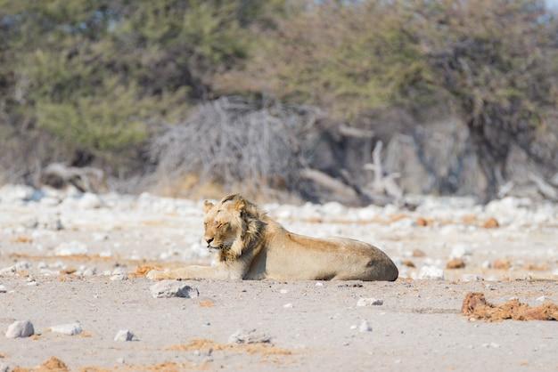 Молодой мужчина ленивый лев, лежа на земле. зебра (расфокусированная) ходила спокойно. сафари в национальном парке этоша, намибия, африка. Premium Фотографии