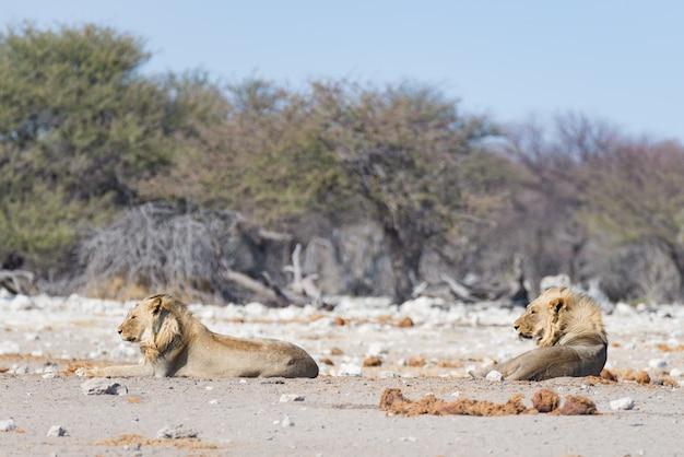 Два молодых мужчины ленивые львы, лежа на земле. зебра (расфокусированная) ходила спокойно. сафари в национальном парке этоша, главная туристическая достопримечательность в намибии, африка. Premium Фотографии