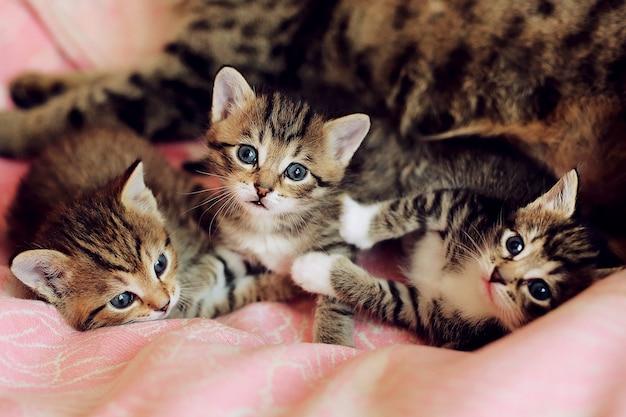 母猫と遊ぶ小さな縞模様の子猫。猫の毛皮のような腹。面白い動物 Premium写真