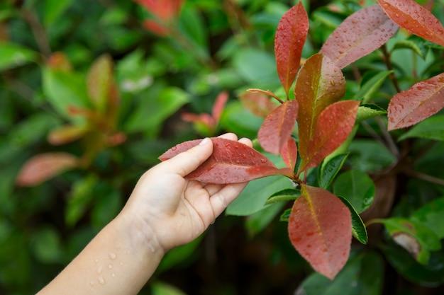 子供の手は屋外の赤い葉を保持します Premium写真