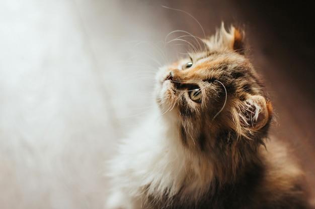 Маленький трехцветный котенок сидит и смотрит Premium Фотографии