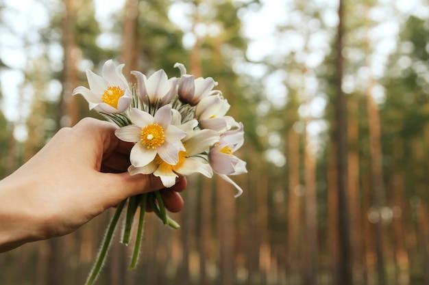 手にスノードロップの小さな花束。針葉樹林の春の花。シベリアのスノードロップ。 Premium写真