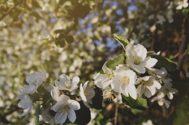 リンゴの木の白い花。咲く果樹園。花とリンゴの枝。 Premium写真