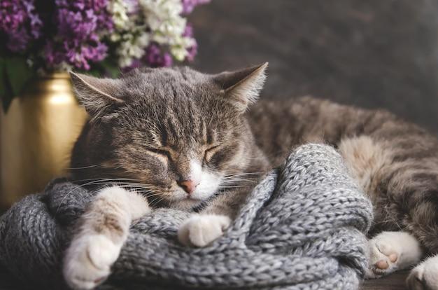 グレーのトラ猫がニットスカーフで寝ています。ライラックの花束の背景に灰色の飼い猫。 Premium写真