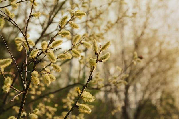 春の柳の小枝。咲く柳 Premium写真