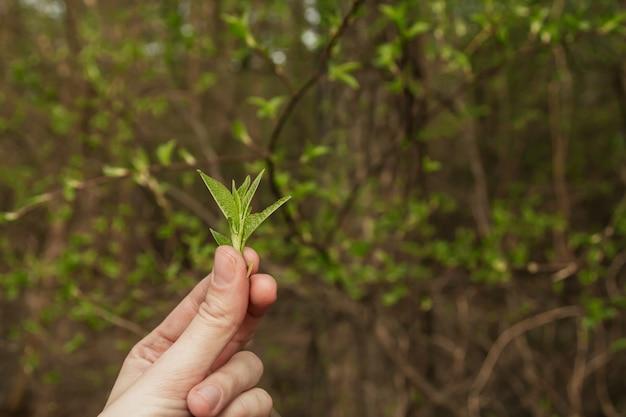 枝に若い春の葉。手に新鮮な緑の葉。 Premium写真