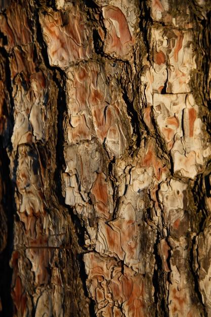 Предпосылка конца-вверх расшивы сосен на заходе солнца в лесе. деревянная концепция фона. Premium Фотографии