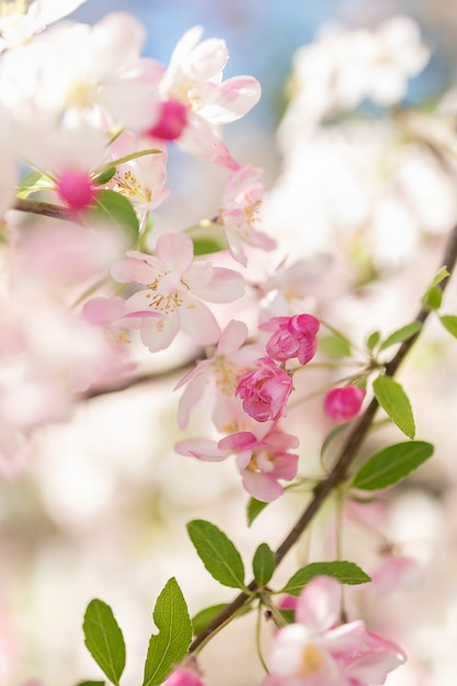 Розовое цветение ветвь дерева. размытый фон крупным планом, селективный фокус. Premium Фотографии