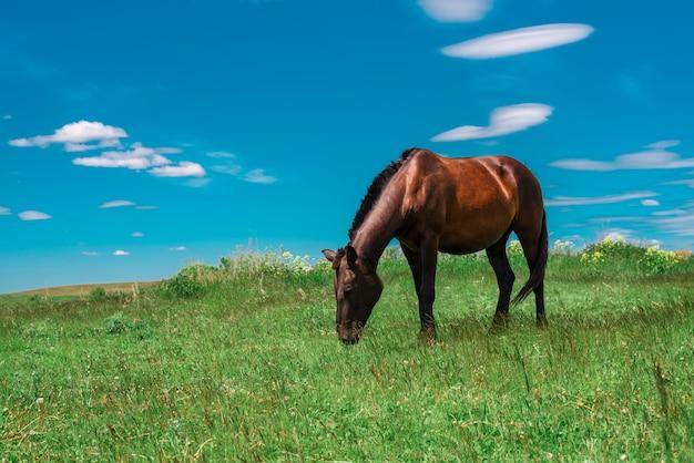 フィールドで放牧妊娠中の茶色の馬 Premium写真