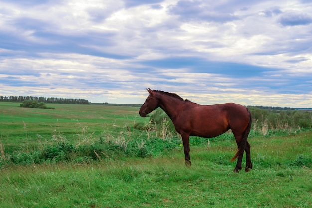 緑の牧草地に暗い茶色の馬が立っています。 Premium写真