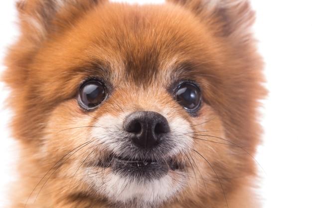 小さな赤い犬は、白い背景に横たわる 無料写真
