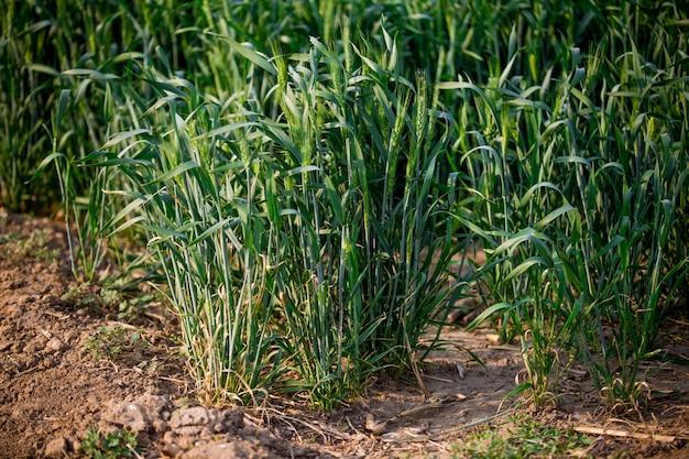 穀物のフィールド 無料写真