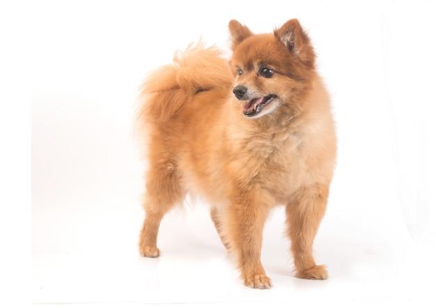 小さな赤い犬は白い背景に横たわる 無料写真