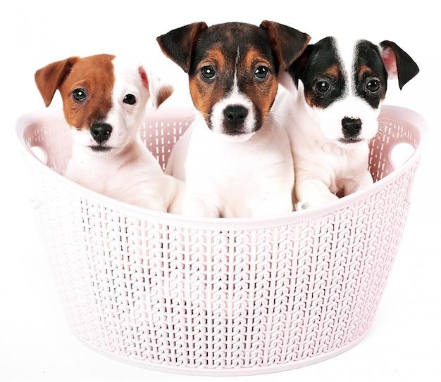 ピンクのバスケットにジャックラッセルテリアの子犬 Premium写真