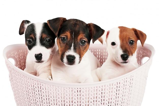 白地にピンクのバスケットでジャックラッセルテリアの子犬 Premium写真