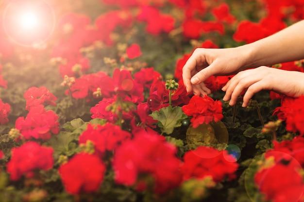 Женские руки держат красивые красные цветы герани в саду Premium Фотографии