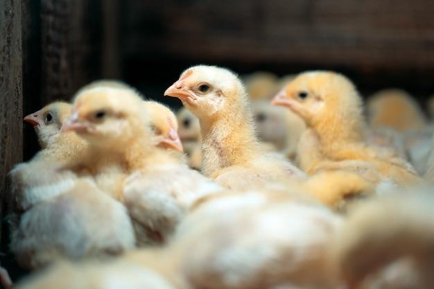 Цыплята цыплят-бройлеров на птицефабрике. Premium Фотографии