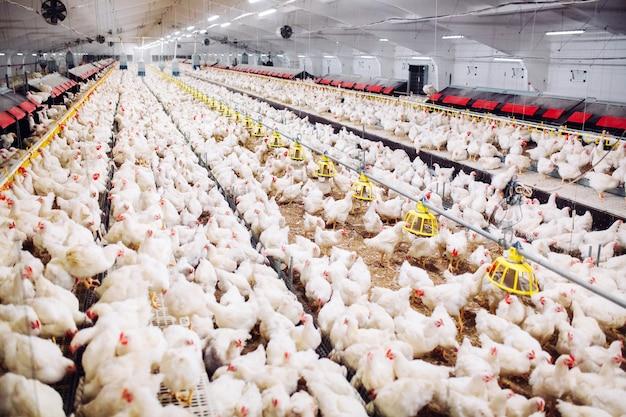屋内養鶏場、鶏の餌付け Premium写真