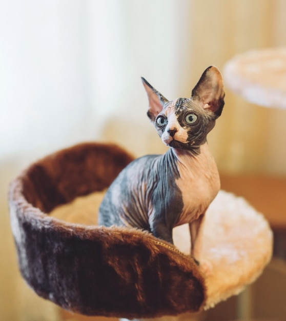 毛のないスフィンクス猫。 Premium写真