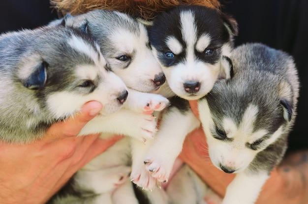Щенки сибирской хаски. помет собак в руках заводчика. маленькие щенки. Premium Фотографии