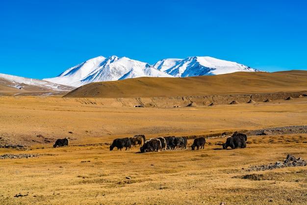 牛の群れとモンゴルの美しい雪をかぶった山の草原の夏の景色。 Premium写真