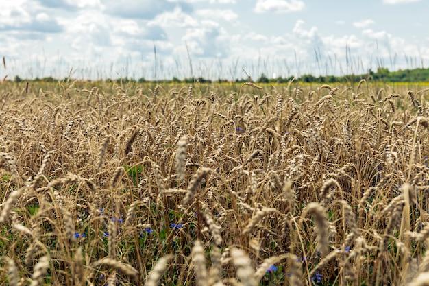 Пейзаж с пшеничным полем весной Premium Фотографии